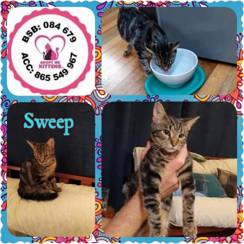 Sweep - Domestic Short Hair Cat
