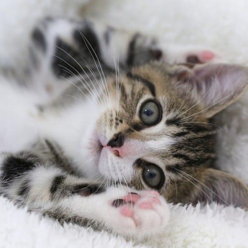 Leopold - Domestic Medium Hair Cat