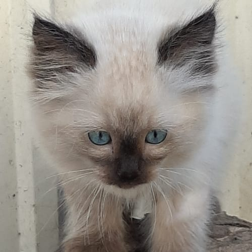 Prince Arnold - Ragdoll Cat