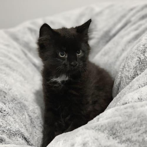 Luna 🌚 - Domestic Medium Hair Cat