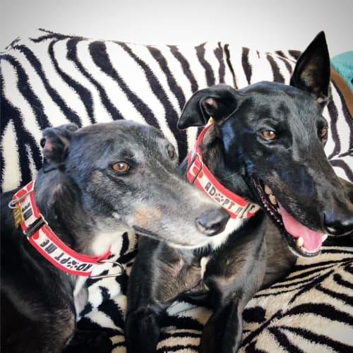 Anna.   Melbourne - Greyhound Dog