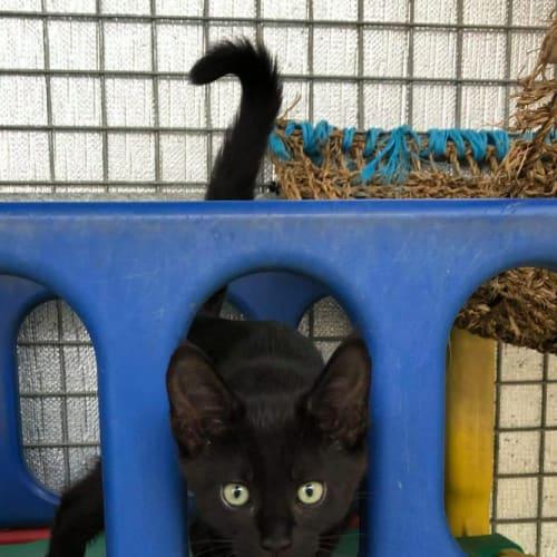 Patchouli - Maine Coon Cat