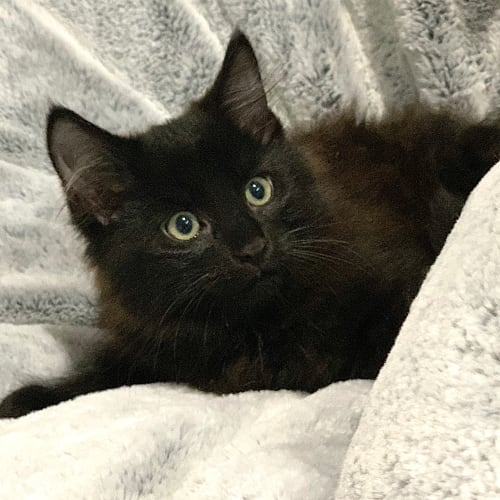 Spike 😺 - Domestic Medium Hair Cat