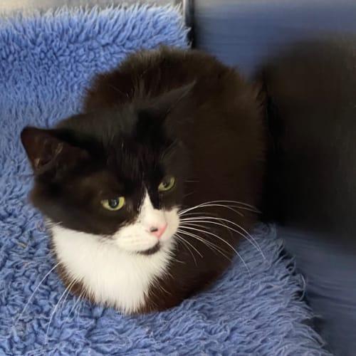 Mira  - Domestic Medium Hair Cat