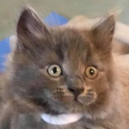 Shae - Domestic Medium Hair Cat
