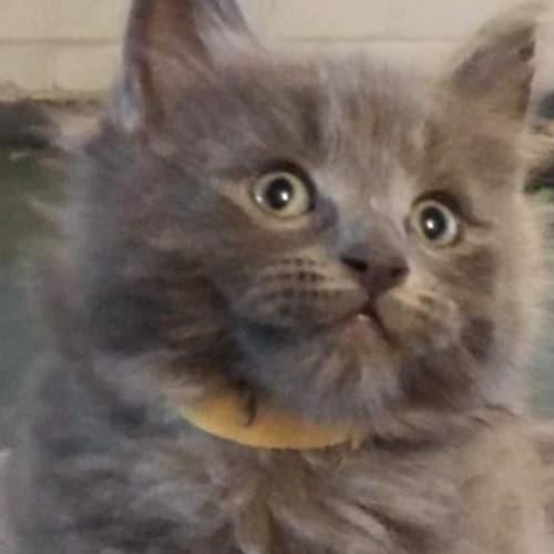 Luke - Domestic Medium Hair Cat