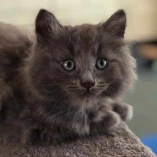 Marty - Domestic Medium Hair Cat
