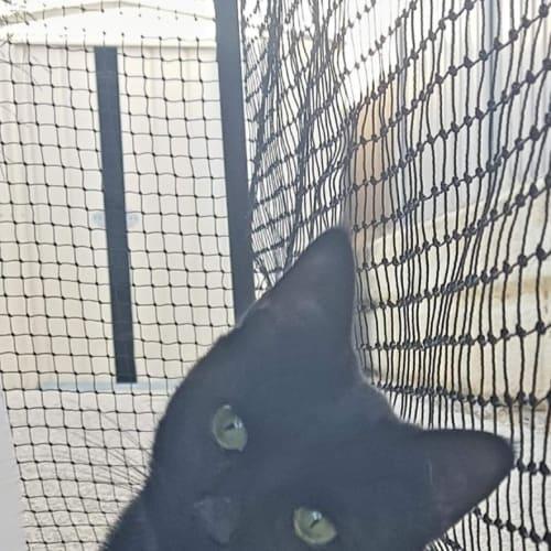 1637 - Nugget - Domestic Short Hair Cat