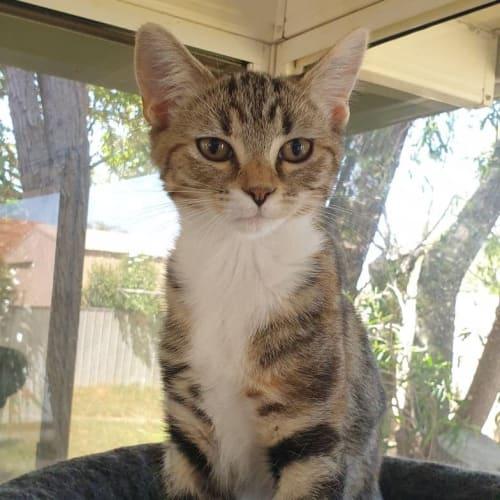 Minie - Domestic Short Hair Cat