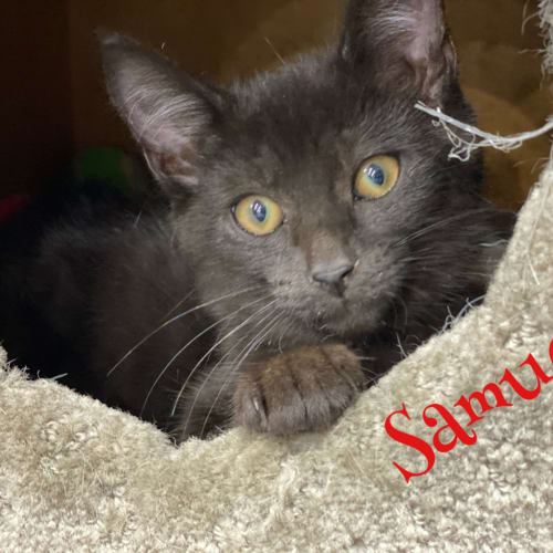 Samuel - Domestic Short Hair Cat