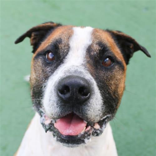 Seymour - Staffordshire Bull Terrier Dog