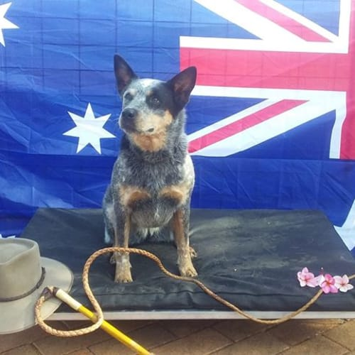 Dig - Australian Cattle Dog