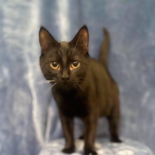 Black Pantha - Domestic Short Hair Cat