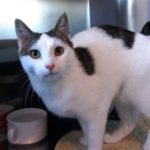 Avril - Domestic Short Hair Cat