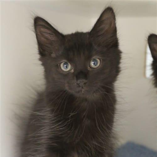 Gus - Domestic Medium Hair Cat