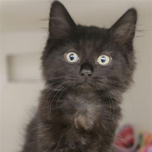 Noah - Domestic Medium Hair Cat