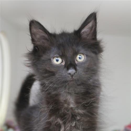 Alfie - Domestic Medium Hair Cat