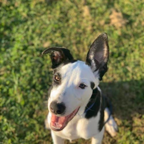Bob - Border Collie x Mixed Breed Dog