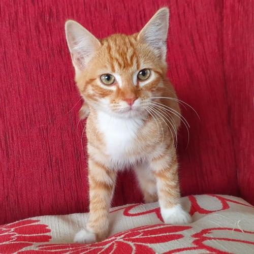 Theo - Domestic Short Hair Cat
