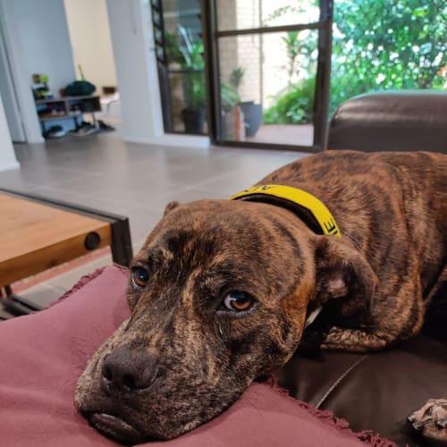Dougie - American Staffordshire Bull Terrier x Bullmastiff Dog