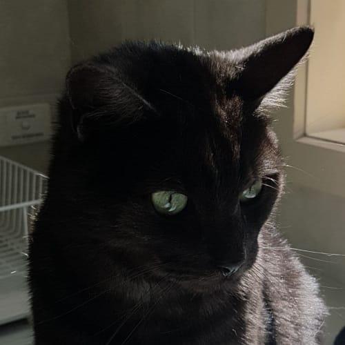 Charlie - Domestic Short Hair Cat