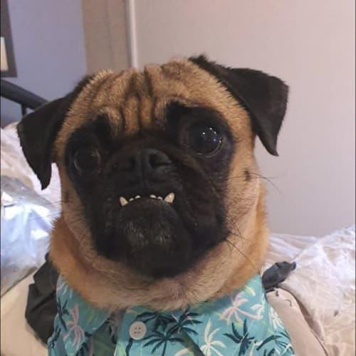 Frank - Pug Dog