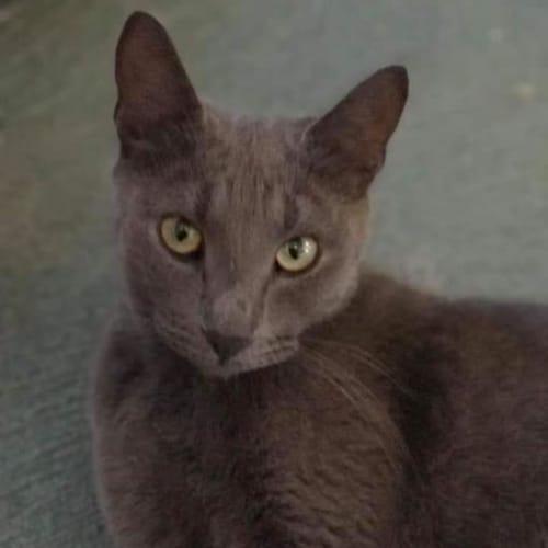 Nyla - Domestic Short Hair Cat