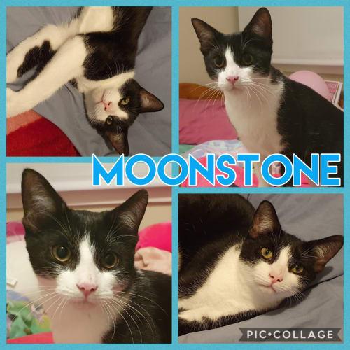 Moonstone - Domestic Short Hair Cat