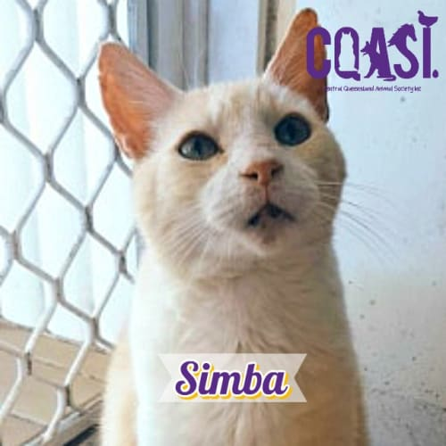 Simba  - Domestic Short Hair Cat