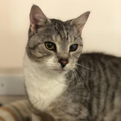 Pj - Domestic Short Hair Cat