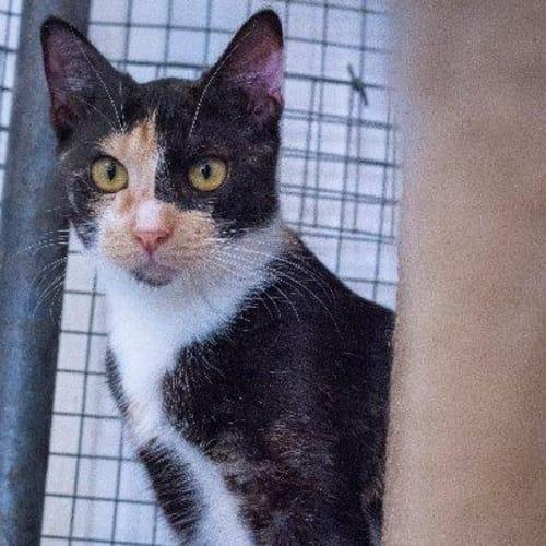 Xandria - Domestic Short Hair Cat