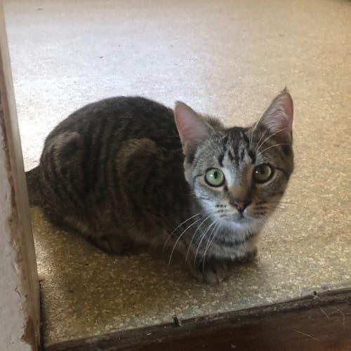 Riesling - Domestic Short Hair Cat