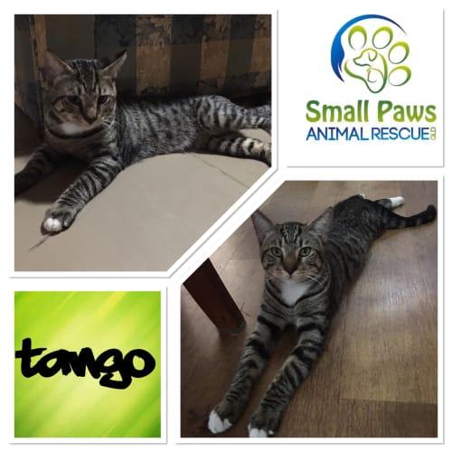 Tango - Domestic Short Hair Cat