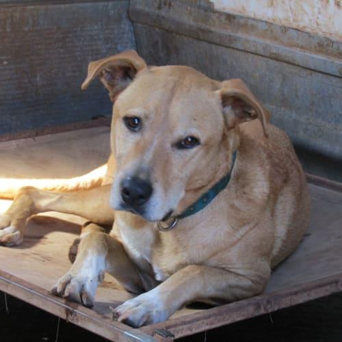 Cooper - Ridgeback Dog
