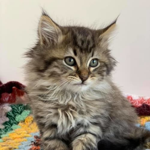 Crouton - Domestic Medium Hair Cat