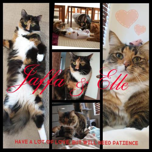 Elle and Jaffa - Domestic Medium Hair Cat