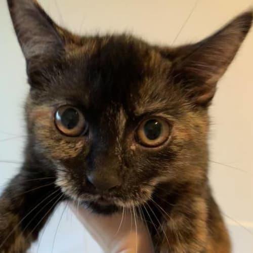 Bronte - Domestic Short Hair Cat