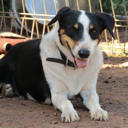 Jim - Border Collie Dog