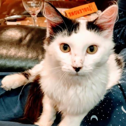 Cosi - Domestic Medium Hair Cat