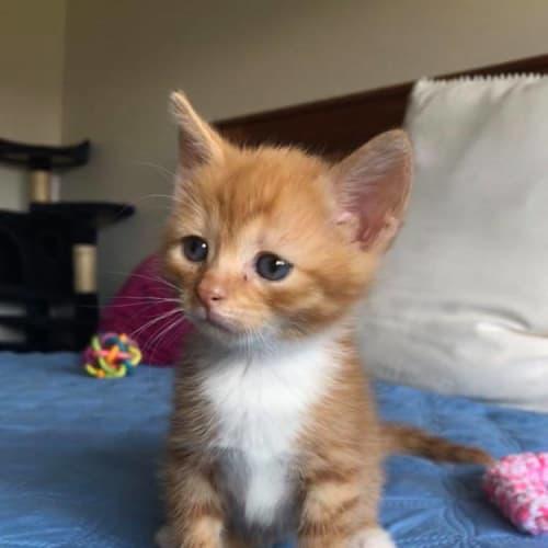 Socks - Domestic Short Hair Cat