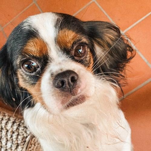 Coco - Cavalier King Charles Spaniel Dog