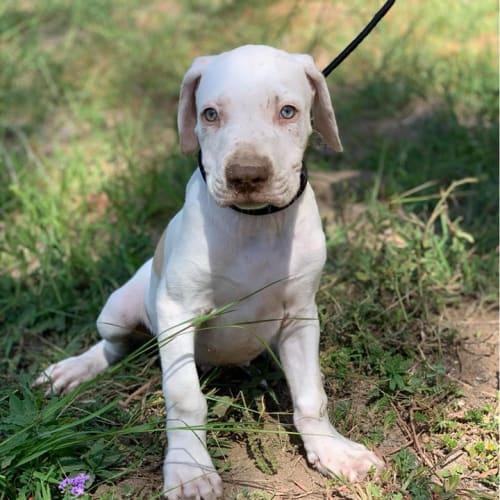 Kewpie - Catahoula Dog