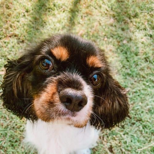 Bella - Cavalier King Charles Spaniel Dog