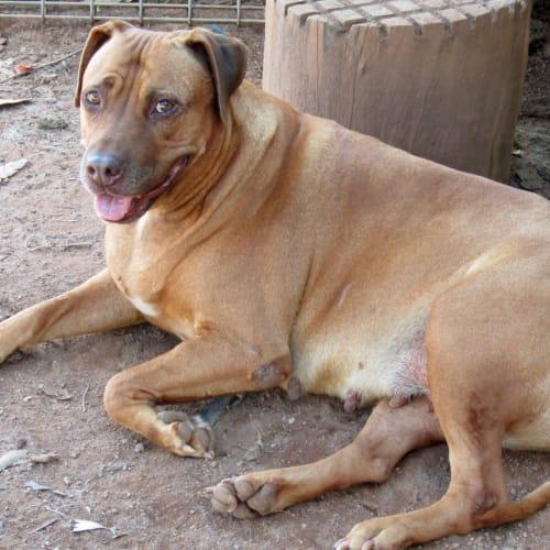 Red - Labrador x Ridgeback Dog