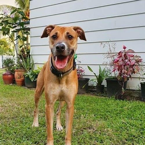 Sasha - Staffy x Whippet Dog