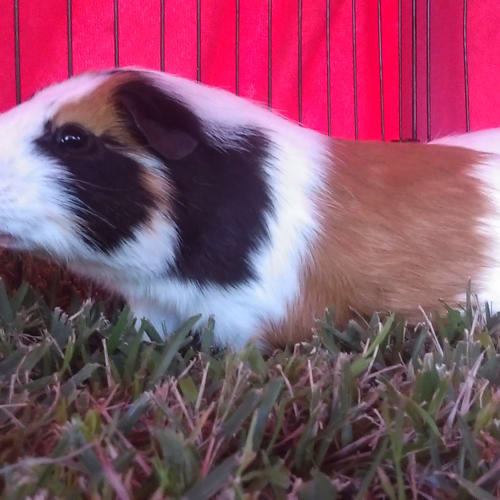 Bert & Honks - Smooth Hair Guinea Pig