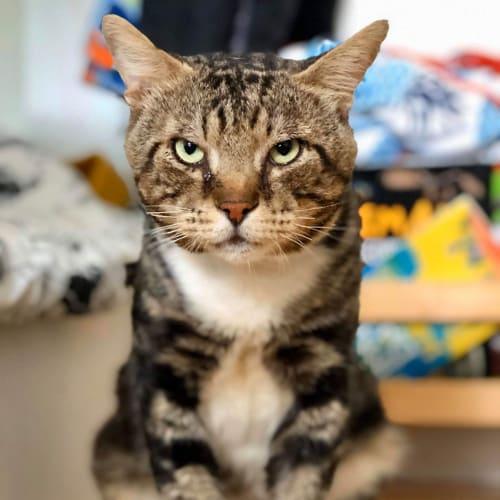 2031 - Wapol - Domestic Short Hair Cat