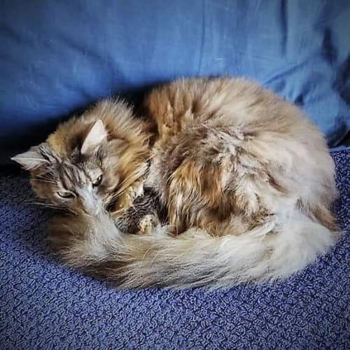 Ziggy - Domestic Long Hair Cat
