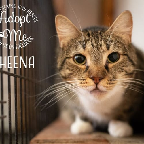 Sheena - Domestic Short Hair Cat