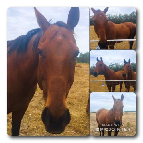 Browny - Thoroughbred Horse